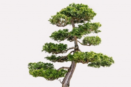 Chamaecyparis obtusa - the Hinoki cypress as a bonsai tree