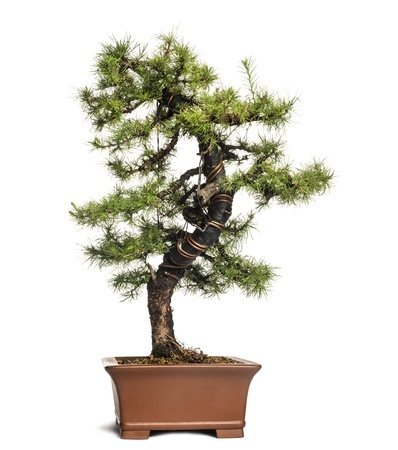 A bonsai larch tree